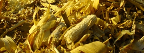 USDA: Removing Corncobs Does Not Affect Soil Quality